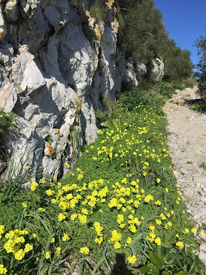 Oxalis pes-caprae lining the way on the Mediterranean Steps