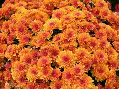 orange mums close up