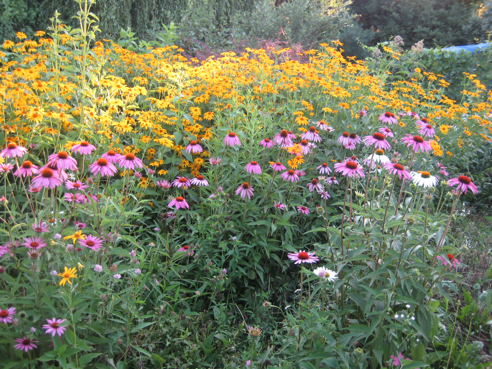 Meadow Muffin Gardens Choose Drought Resistant Plants