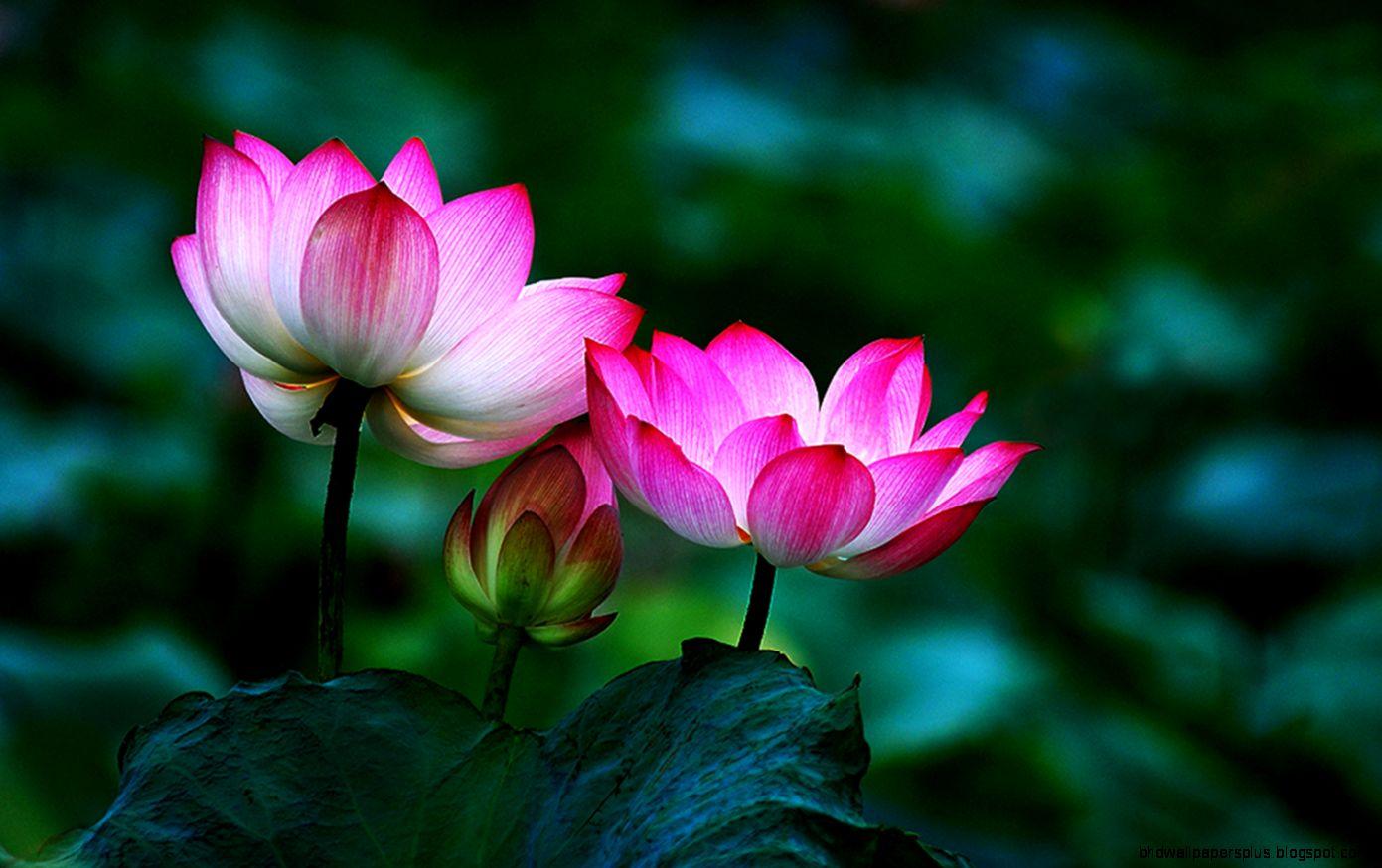 Lotus flower   24  Lotus flowers 05 high quality  Buddha
