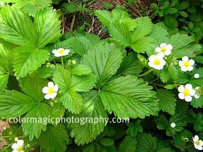Wild strawberry plant-flowering alpine strawberry-Fragaria vesca