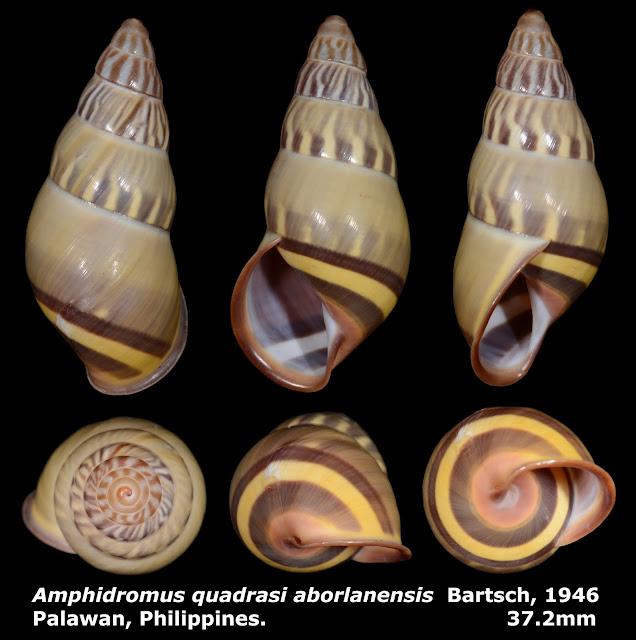 Amphidromus quadrasi aborlanensis 37.2mm