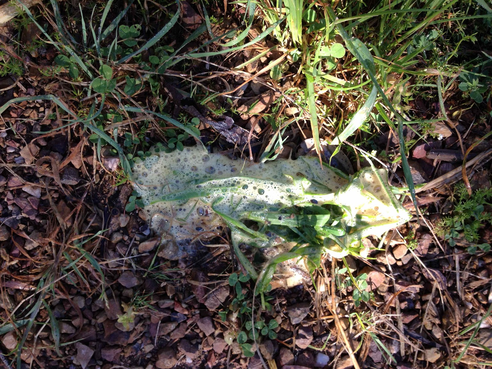 Dog Eating Grass Vomiting White Foam