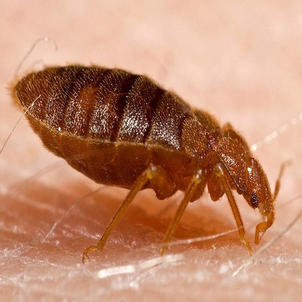 What Bed Bug Bites Look Like
