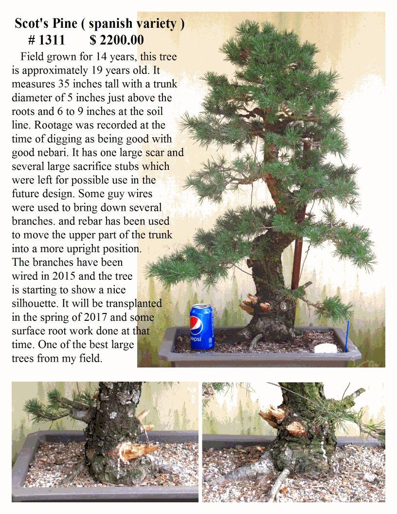 #1311 Scot's Pine