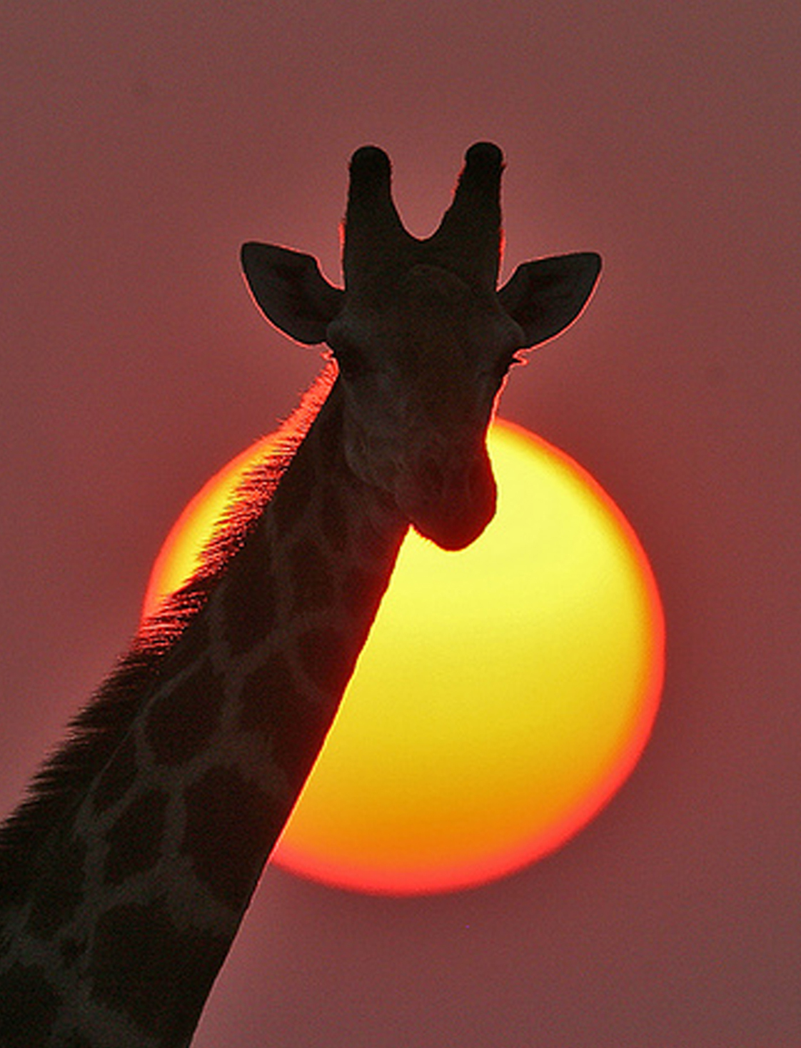 Displaying 20> Images For - Giraffe Head Silhouette...