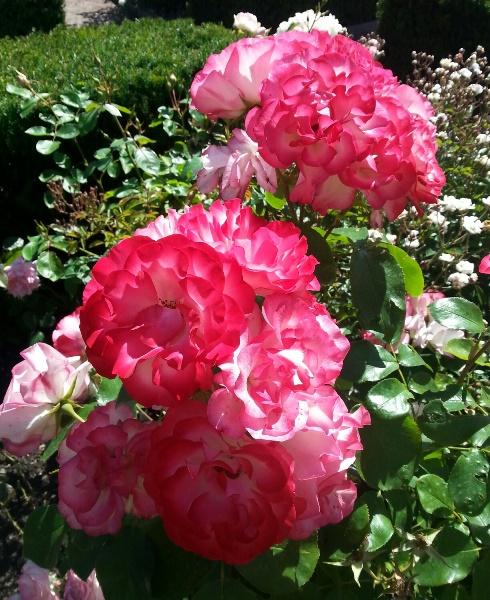 Staket staket rosor : RUTA ETT: Ner till stan i solen!