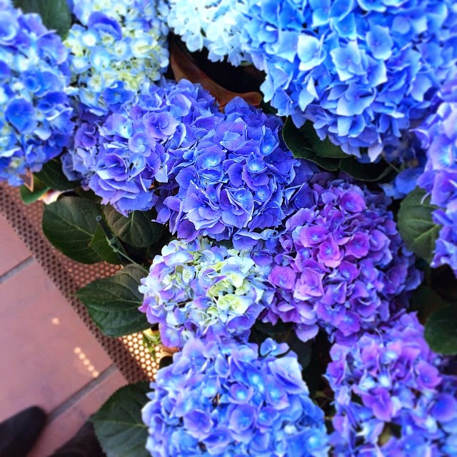 Flowers, Instagram, Hydrangeas, Blue Hydrangeas, Purple Hydrangeas