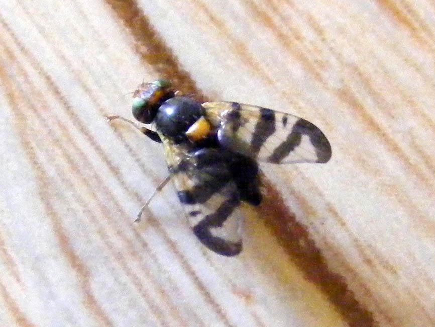 Striped Wing Fly Looka...
