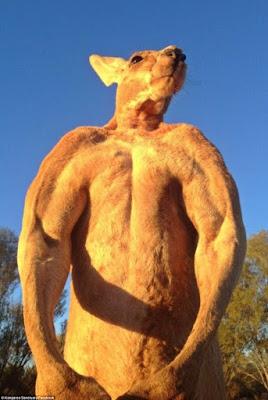 """Roger """"El gran rojo"""" el canguro más musculoso"""