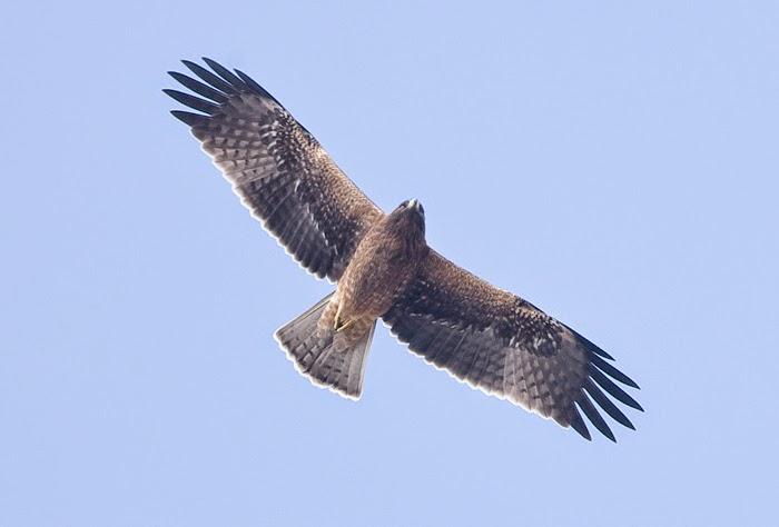 Águila Calzada Oscura