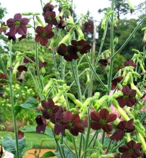 nicotania chocolate smoke - Chocolate Garden