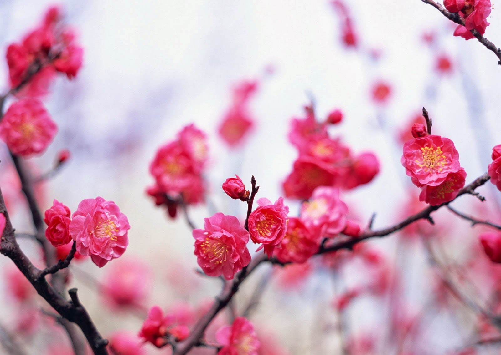 classical ese translations plum blossoms