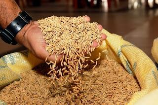 Produção de arroz proporcionou a geração de cinco mil empregos diretos e indiretos, na região do Baixo São Francisco sergipano.