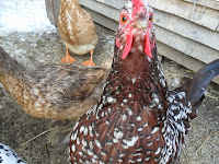 Brown and white speckled chicken