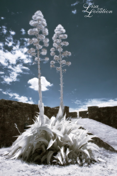 twin yuccas in bloom, false-color infrared. Presidio la Bahia, Goliad, Texas. Lisa On Location photography. 365 photo project. New Braunfels, San Antonio, San Marcos, Austin