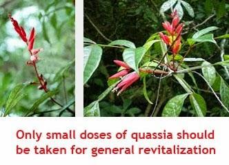 quassia medicinal uses