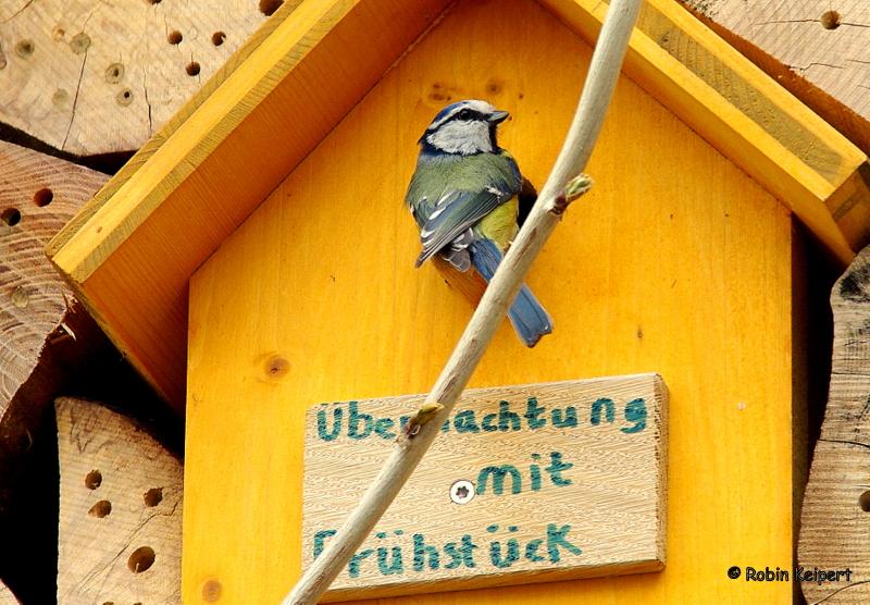 robbies tierbilder blaumeisen in meinem nistkasten blue. Black Bedroom Furniture Sets. Home Design Ideas