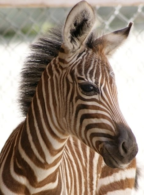 Image Result For Cute Baby Zebra