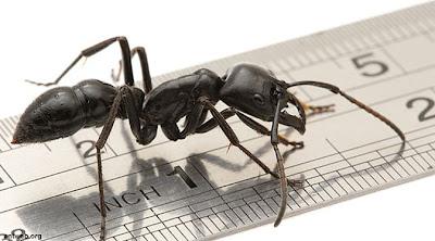 Semut Ternyata Dapat Meramal Gempa