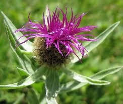 fleurs de bach pour maigrir