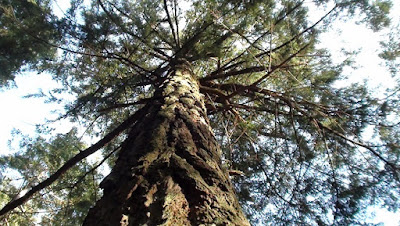 Looking skyward up the trunk of a giant douglas fir tree