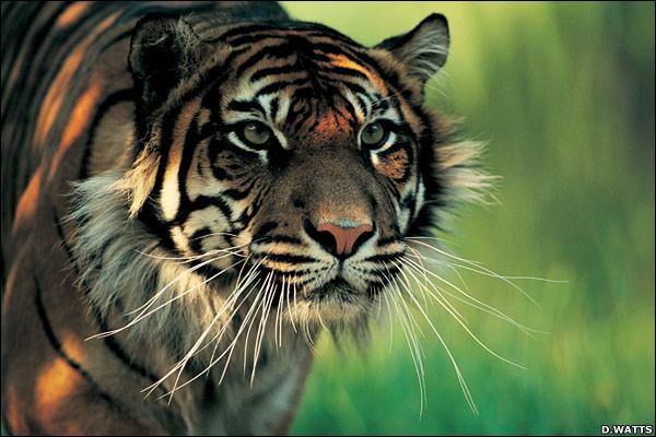 Harimau Sumatera Tinggal 154 Ekor di Aceh