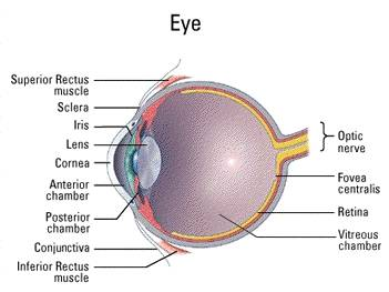 Eye Component In Dog