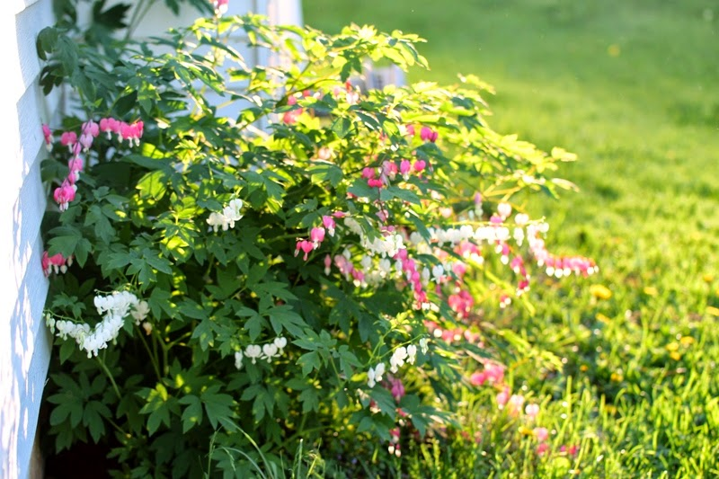 white and pink bleeding hearts at the Little Farm