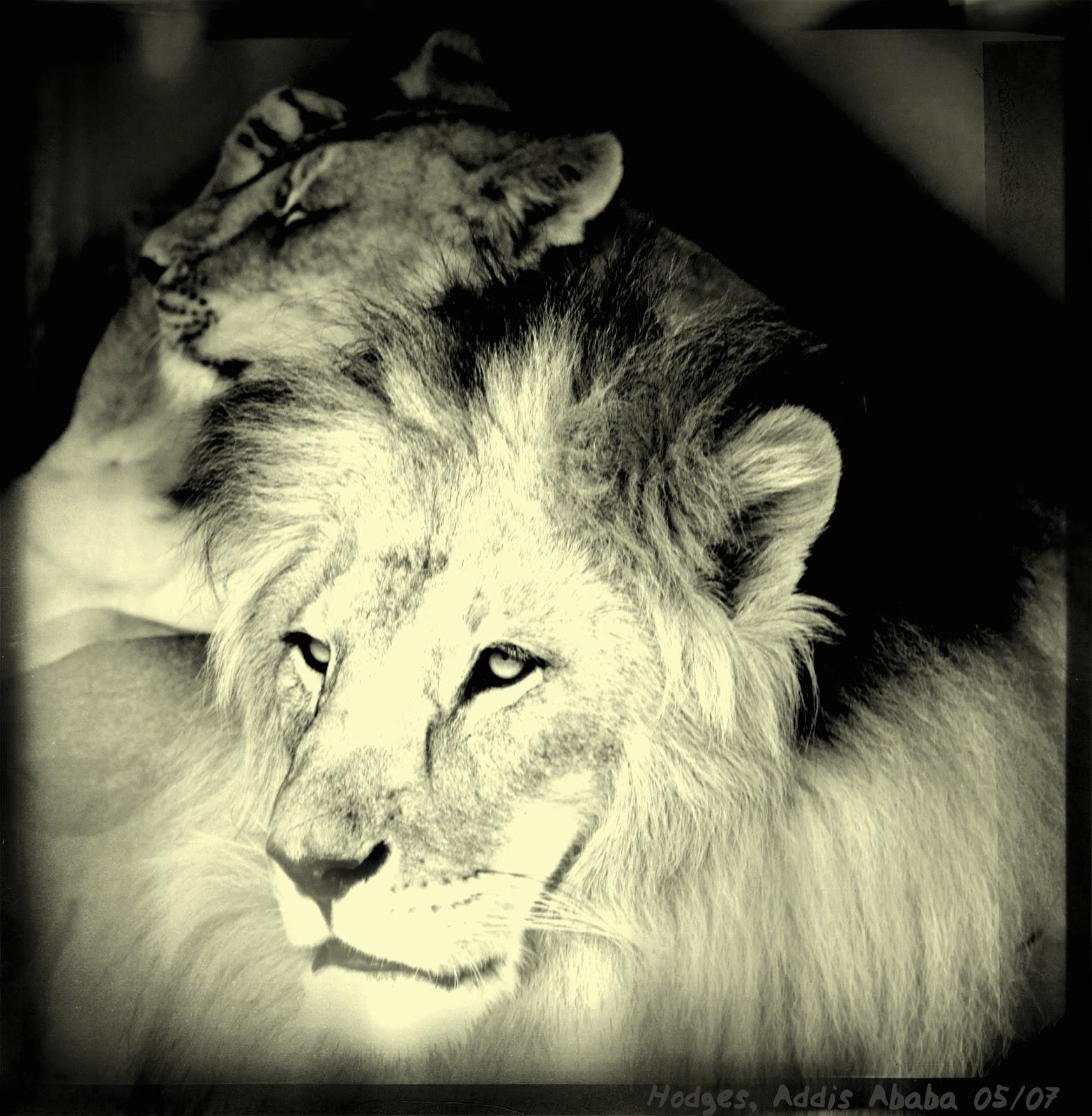 Conquering Lion Of Judah Tattoo Conquering Lion Of Judah