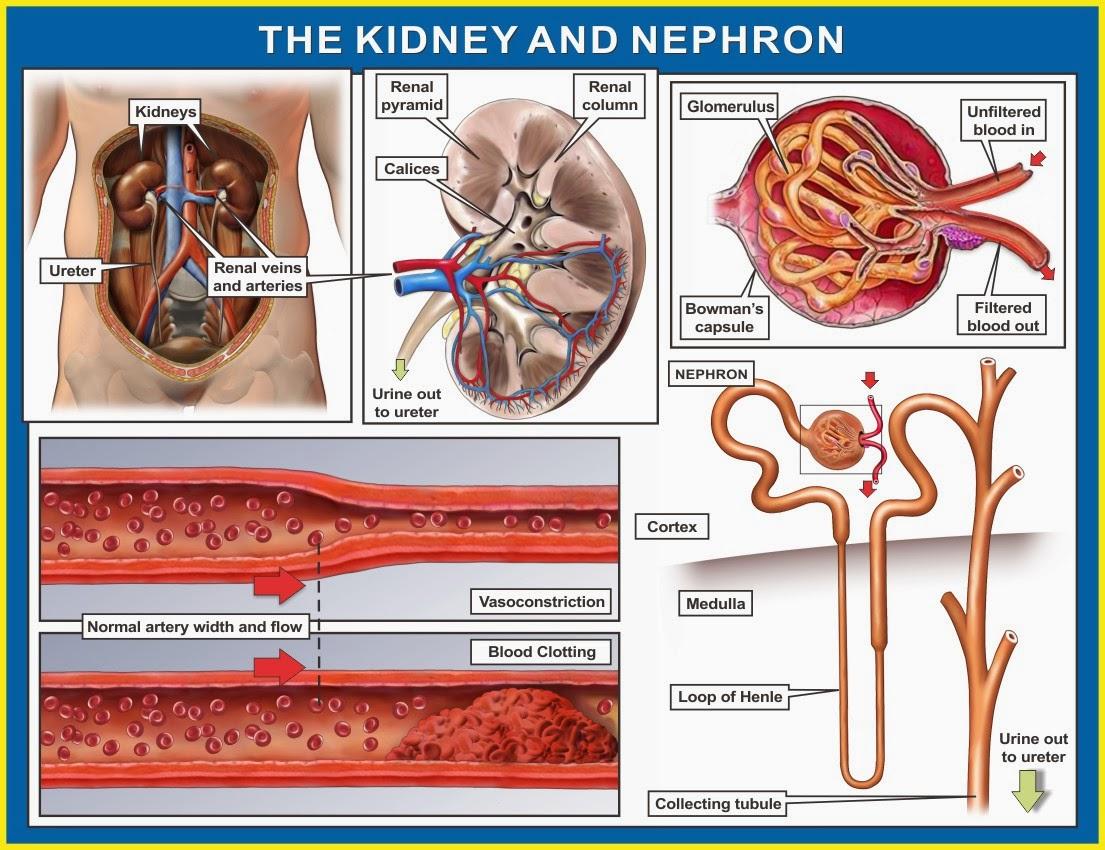 Nephron Of The Kidneys