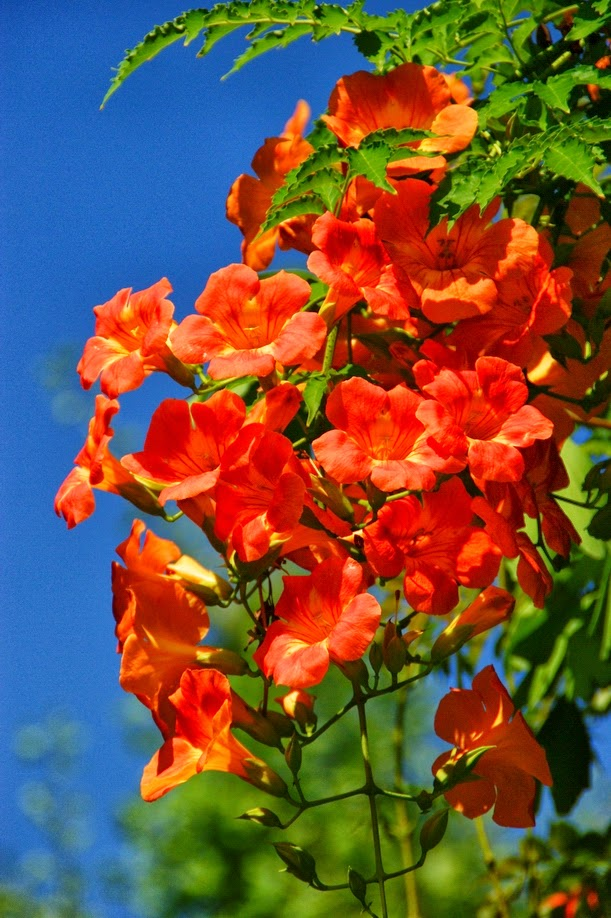 campsis radicans the hardy trumpet vine the garden of eaden. Black Bedroom Furniture Sets. Home Design Ideas