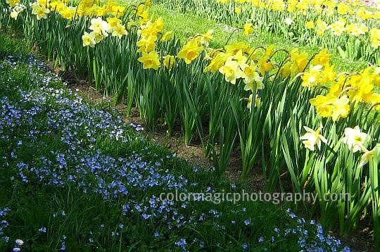 Flower bed with yellow daffodils and speedwell