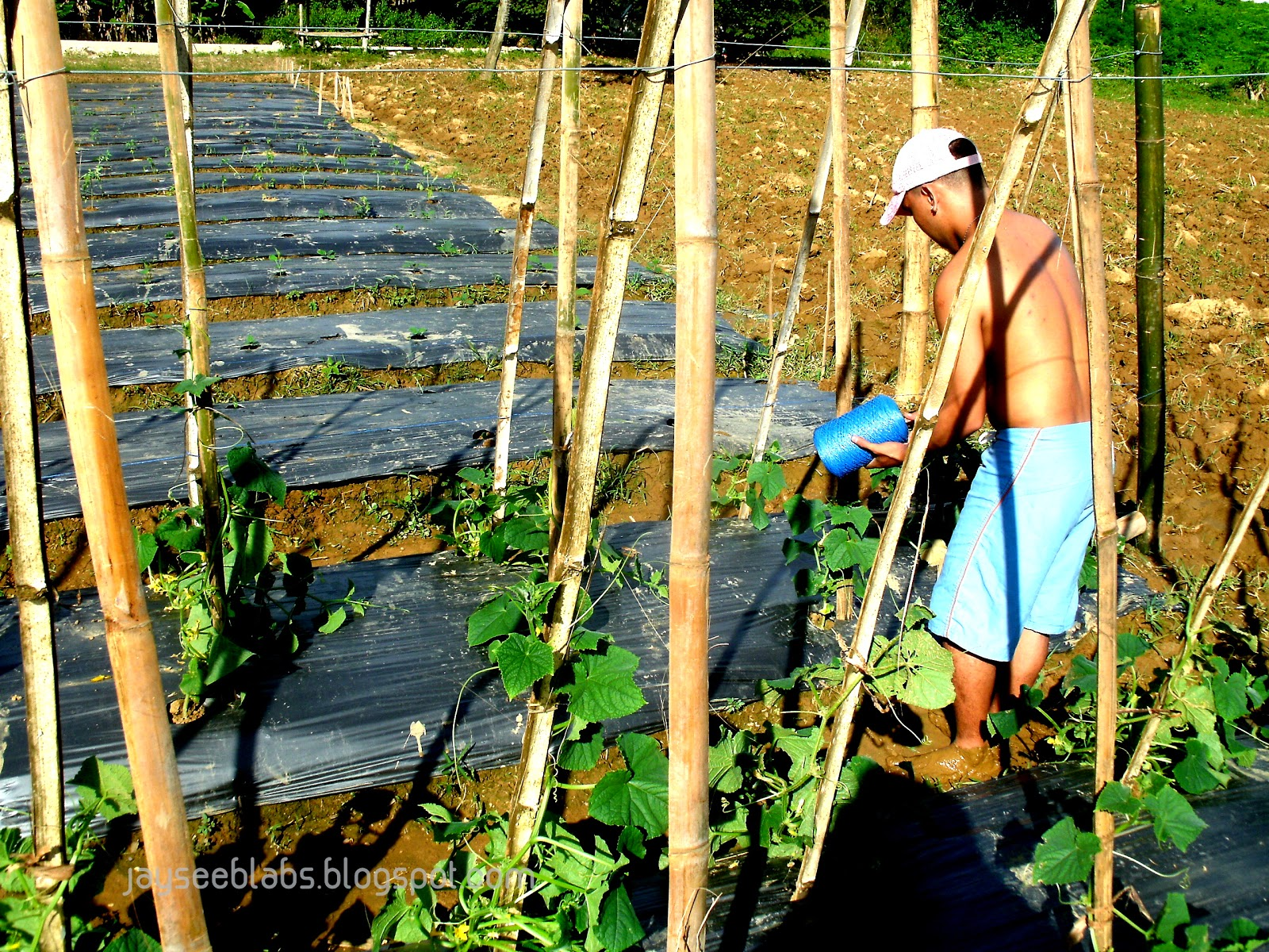 This beautiful farm site where I'm volunteering on is actually located in Brgy. Danglag, Consolacion, Cebu where farmer beneficiaries of the Kabalikat sa Kabuhayan Program are being trained advanced farming techniques. Yep, I learned this new term called mulching where crop beds are actually covered in plastic.