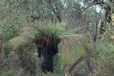 Xanthorrhoea sp