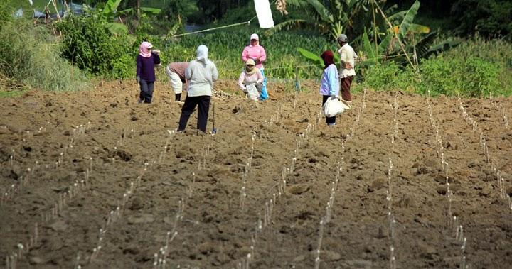 Pertanian Indonesia Cara Menanam Singkong Agar Berbuah Banyak