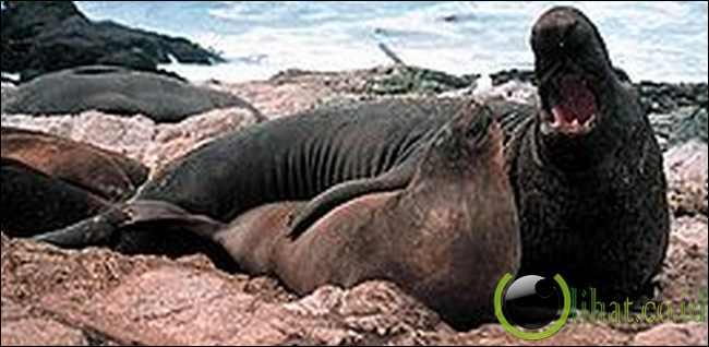 Gajah Laut Utara