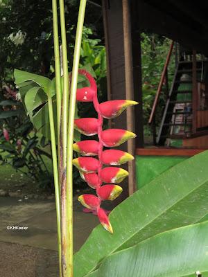 hummingbird flower, Heliconius