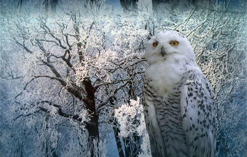 Owl Wallpapers HD Desktop