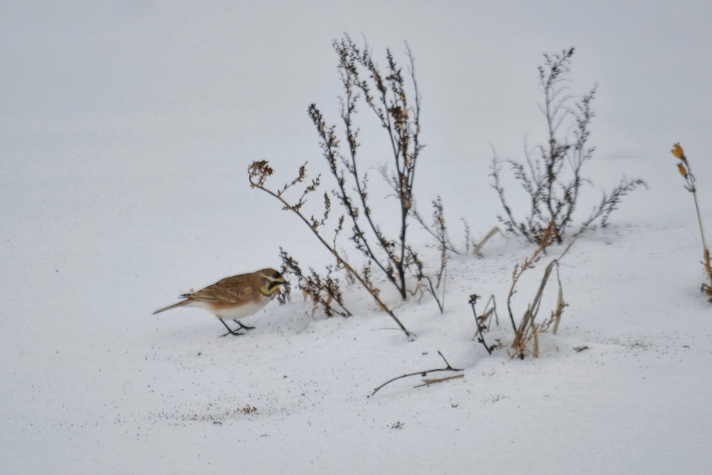 Horned Lark feeding on weed seeds