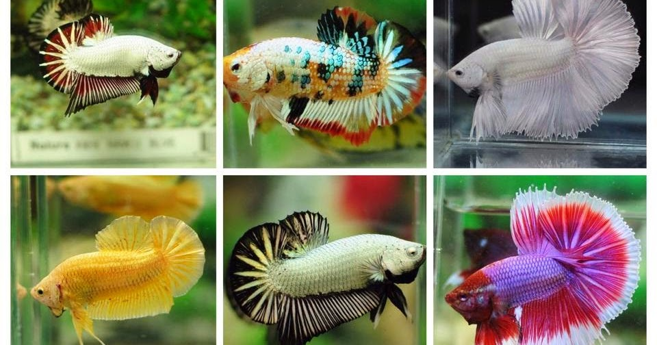 All about betta fish types of betta fish for Types of fish at walmart