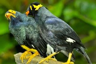 Cara lengkap merawat burung Beo