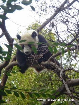 giant panda in tree at San Diego Zoo in California