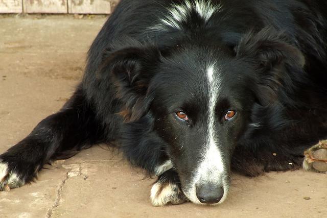 7 raças de cães brasileiras