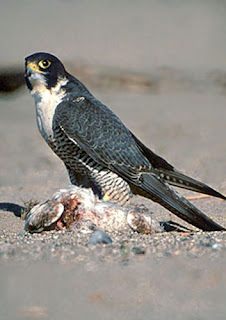 Falcon hunting and eating