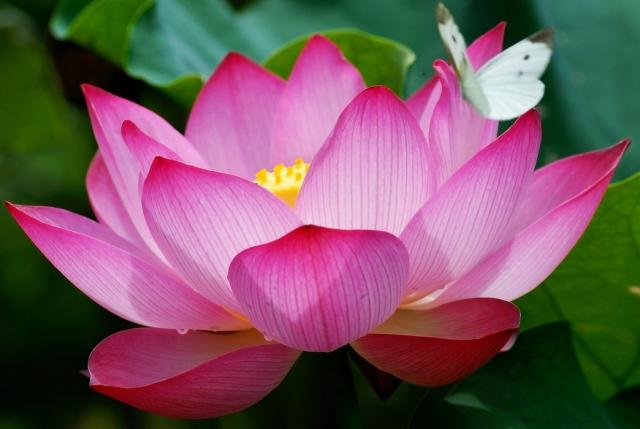 Lotus flower green with envy its roots are in muddy water but the lotus flower rises above the mud to bloom clean and fragrant the mud nourishing the roots represents our messy human mightylinksfo