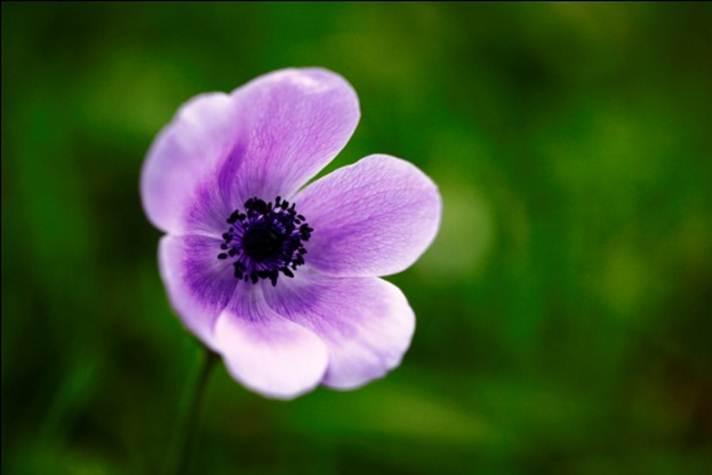 Anemonia.6