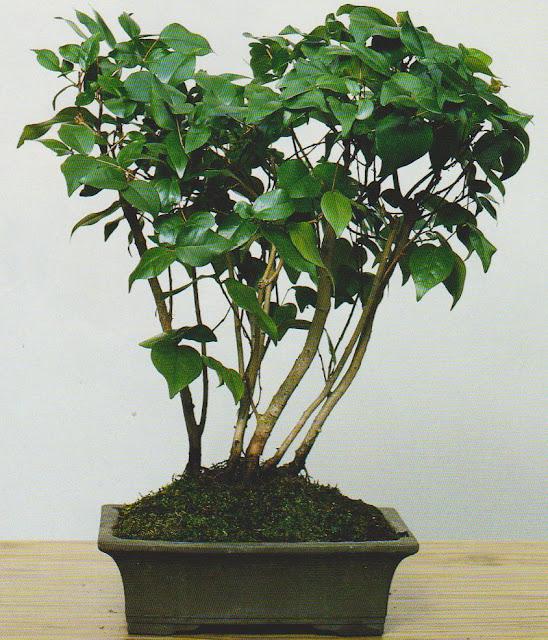 eugenia-uniflora