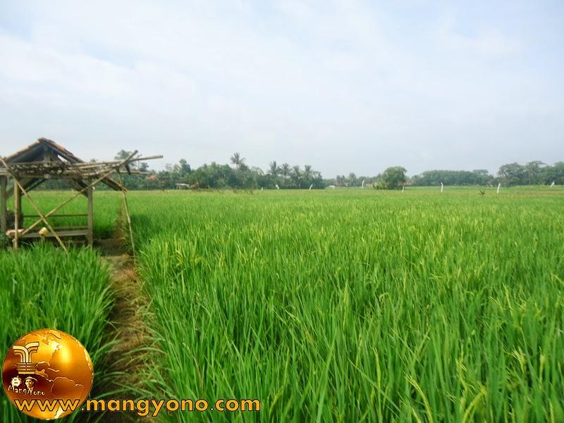 FOTO : Tanaman padi kami di Bakan Bandung.