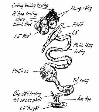 Sơ đồ hệ sinh dục của gia cầm mái